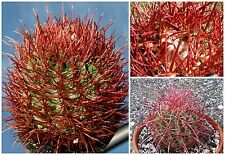 50 seeds of Echinocactus polycephalus,seeds cacti , succulents seeds   C
