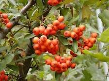 20 x Firethorn tree seeds (pyracantha coccinea) tree shrub seeds.