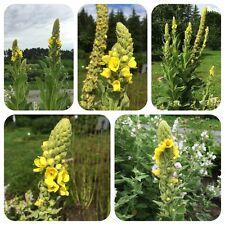 Arznei-Königskerze Verbascum densiflorum Heilpflanze Teepflanze Bienenweide