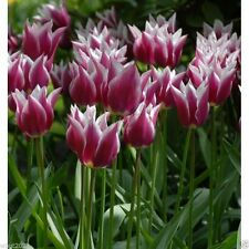 Tulip Lily Flowering Claudia (25 Bulbs) 12+cm, Late Blooming,NOW SHIPPING !