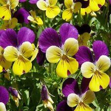 Viola Johnny Jump Up Tricolor 200 seeds  Garden Seeds 2u