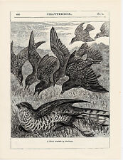 A Hawk attacked by Starlings.  Scarce print 1904