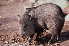 563002 Collared Peccary javelina A4 Photo Print