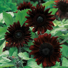 Sunflower Seeds - BLACK MAGIC - Helianthus Annuus - Uniquely Rare - 10 Seeds