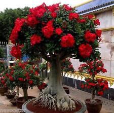 DESERT ROSE(ADENIUM OBESUM) (PINK-RED) FLOWER SEEDS 25 NOS (5 + DIFF. VARIETY)