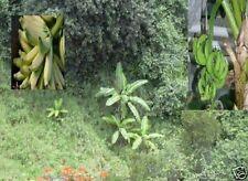 Musa Nagensium / exotische winterharte Pflanzen Bananen Obst für das Gewächshaus