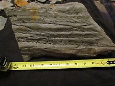 Huge Lepidodendron(Scale Tree)Fossil f/the Carboniferous, Pennsylvanian Period