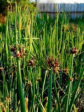 Egyptian Walking Onions - Walking Onion - Allium - Easy to Grow - 6 Bulbils