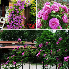 100pcs Purple Climbing Rose Seeds Perennial Fragrant Flower Home Yard Decor