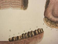 1880 farriery print ~ l'âge de la nuée indiqué par les dents ANATOMIE