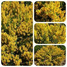 Färberginster Genista tinctoria Färberpflanze Heilpflanze Brustkrebstherapie