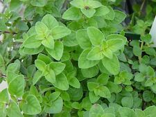 200 GREEK OREGANO Italian / Winter Marjoram Oreganum Vulgare Hirtum Herb Seeds