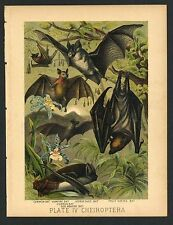BAT, Vampire, Fruit, Dog Head, Vintage 1897 Chromolithograph Print, Antique, 004