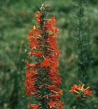Standing Cypress- 100 Seeds - 50 % off sale