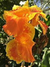 canna lily king humbert magnificent.