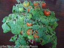 Zimmertomate PEARL Tomate de bote 10 semillas muy raras para Balcón y Cubo