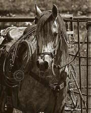 Barry Hart Arabian Working Cow Horse Western Photograph Print Poster 22x27