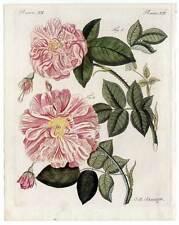 Rosen-Rose-Blume-Botanik - Bertuch Kupferstich 1800