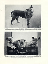 AUSTRALIAN DINGO DOG AND PUPPIES OLD ORIGINAL DOG PRINT PAGE FROM 1934