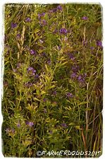 "Medicago sativa ""luzerne"" 200+ graines"