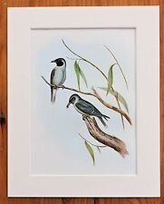 Australian Wood Swallow - Mounted Vintage John Gould Print 1960 Book Plate