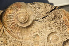 beau bloc avec plusieurs espèces d'ammonites callovien !!!! donc une  rare!!!