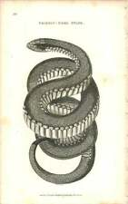 1802 Crimson Sided Snake Engraved Amphibia Plate - Shaw