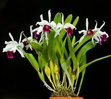 Laelia Purpurata * Fragrant Brazilian * Laelia Orchid * Larger plants *