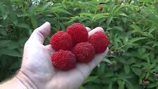 6 graines de FRAMBOISIER D' ASIE(Rubus Rosifolius)H476 ROSE LEAF BRAMBLE SEEDS