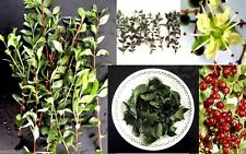 50 Lawsonia Inermis (Henna Plant Seed),used to color hair, skin and fabrics.