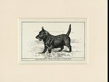 SCOTTISH TERRIER RARE ANTIQUE 1900 ENGRAVING NAMED DOG PRINT READY MOUNTED