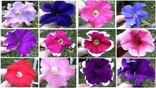 MIXED COLORS OF PETUNIA FLOWERS 100  + SEEDS 4 U + FLAT RATE $1.99 S/H UNLIMITED
