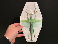 Entomologie Insect Insecte Eurycnema versirubra A1 d'Indonesie!! GIANT!!