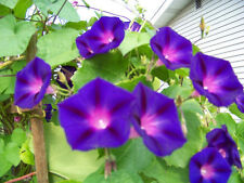 morning glory vine, GRANDPA OTT, purple flower, 40 SEEDS! GroCo