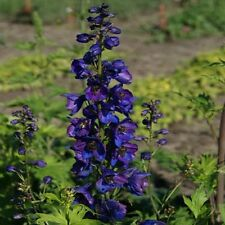 Delphinium Black Knight Flower Seeds (Delphinium Cultorum) 50+Seeds
