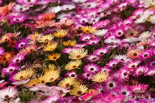 OFFERTA !!! 800 semi di Dorotheanthus Bellidiformis - UN TAPPETO DI FIORI !
