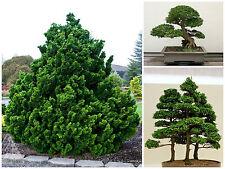 10 Samen Chamaecyparis obtusa, Scheinzypresse, bonsai Seeds, G