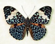 ONE REAL BUTTERFLY BLUE WHITE PERUVIAN HAMADRYAS PAPERED UNMOUNTED WINGS CLOSED