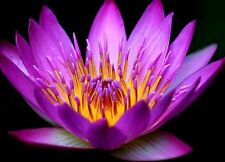 Bonsai Purple Lotus Pond Flower:10 Seeds, High Germination, Free Shipping
