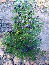 Filius Blue Hot Pepper Seeds! See Our Store For Many Rare Seeds! COMBINED S/H!