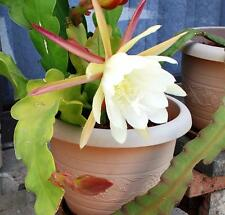 Epiphyllum, Orchid Cactus (lite yellow flowers up to 20cm) Small Plant