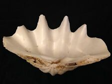 "LARGE Clam Sea Shell 18"" Long x 12"" Wide & 17 Lbs Tridacna Gigas ? Natural Ocean"