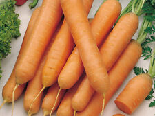 100 Carota TOUCHON carrot seeds vegetable orto garden ortaggio verdura semi