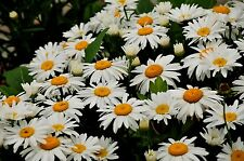 BUY USA 100+ Perennial White Shasta Daisy Seeds - RESEEDS & Free Ship+Gift
