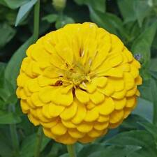 Canary Bird Zinnia 50 Seeds Large Bright Yellow colored Blooms for Your Garden