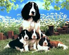 English Springer Spaniel Mother and Puppies: 10x8 In. Photo Print/Mini Poster