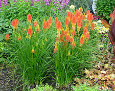 Kniphofia Seeds - PAPAYA POPSICLE - Torchlily - Attracts Hummingbird - 10 Seeds