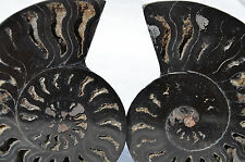 "RARE 1 in 100 BLACK PAIR Ammonite Crystal LARGE 122mm Dinosaur FOSSIL 4.7"" n1931"