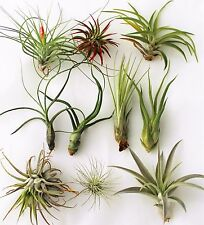 10 Pack of PREMIUM LARGE Air Plants (Tillandsia) FREE SHIPPING