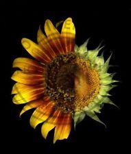 """GIRASOLE """"SOLE/LUNA""""-FINE ART-FIORI E PIANTE-FINE ART IMAGES-FLOWERS AND PLANTS"""
